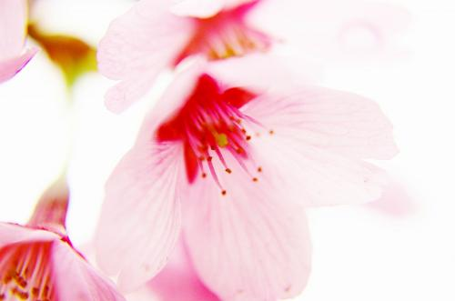 IMGP2700枝垂れ桜