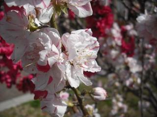 マーブル桜