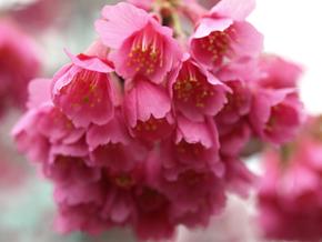 [カンヒザクラ (バラ科)] (Prunus campanulata)(寒緋桜)