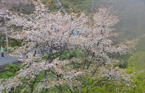 201204yoshino_1034.jpg