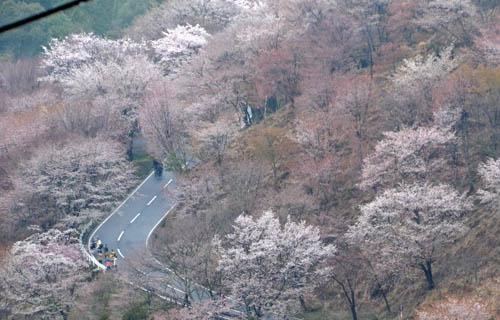 201204yoshino_1050.jpg