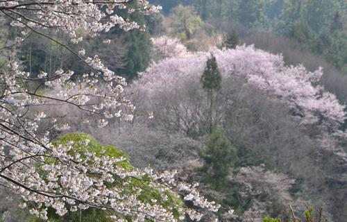 201204yoshino_1103.jpg