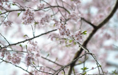 201204yoshino_1115.jpg