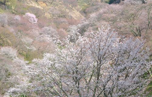 201204yoshino_1117.jpg