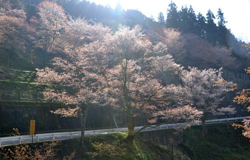 201204yoshino_1122.jpg