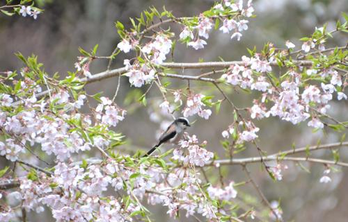201204yoshino_1138.jpg