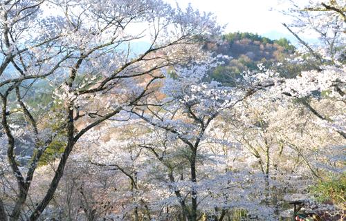 201204yoshino_1190.jpg