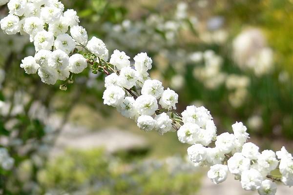 シジミバナ ( 蜆花 )