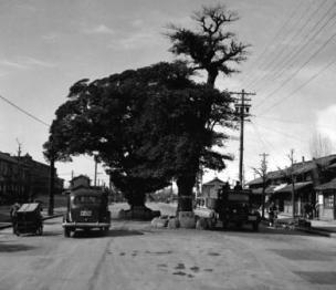 清水口の大木