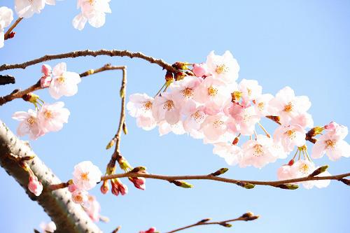 やっぱ桜は青空が似合うね~