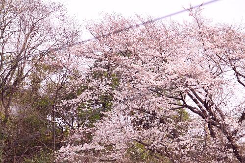 まろん家から見える桜~♪