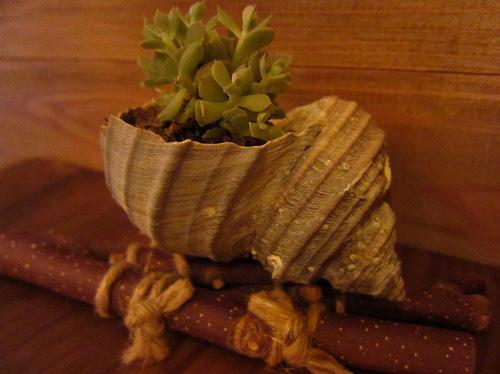 貝殻の植木鉢♪