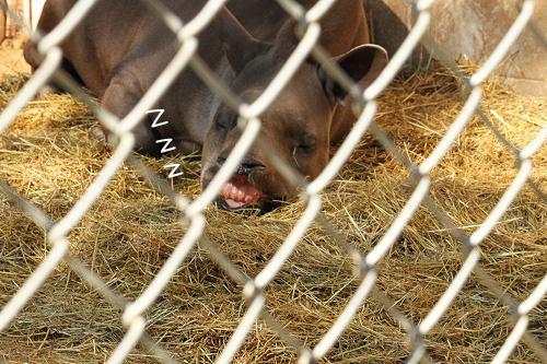 すごい顔で寝るアメリカパグ