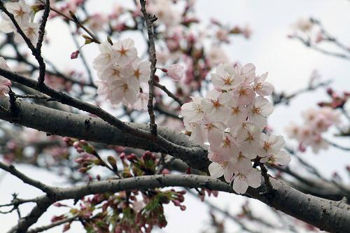桜も咲き咲き~♪