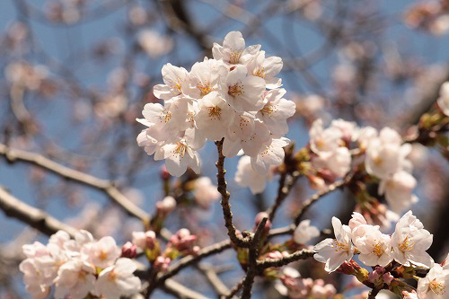 桜もいい感じ~