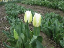 tulip+nakayoshi_convert_20090116174655.jpg