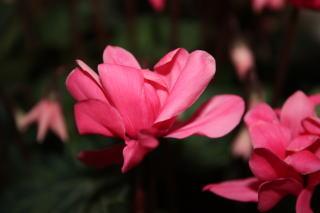 八重咲きミニシクラメン(チモ)