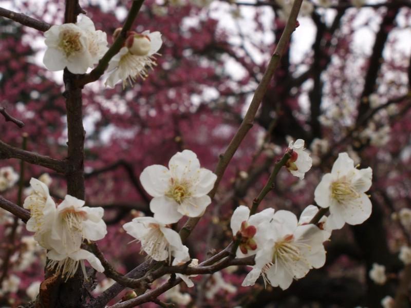 今治市 網敷天満宮 梅の花