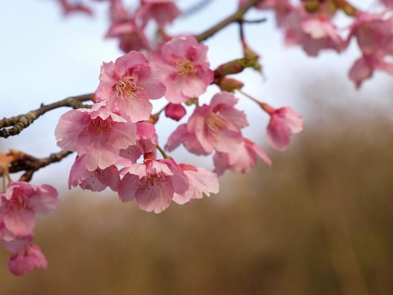 今治市 野間馬ハイランド 河津桜