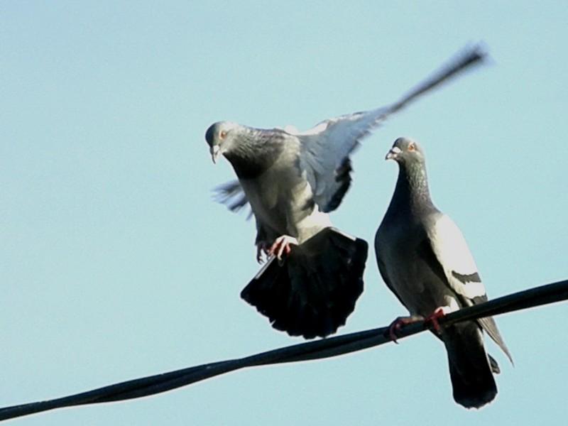 新居浜市 滝宮公園 鳩