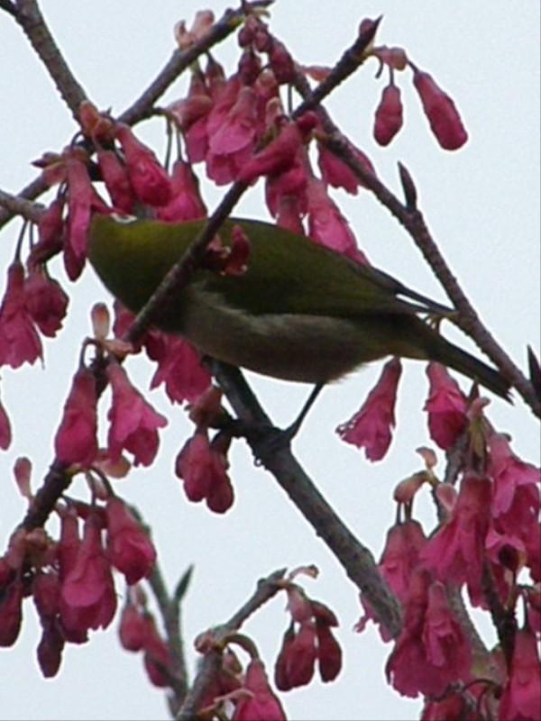 春 メジロ