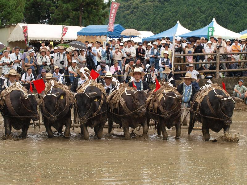 城川町 どろんこ祭り 代かき