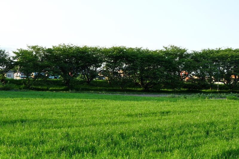 西条市吉田 桜の新緑