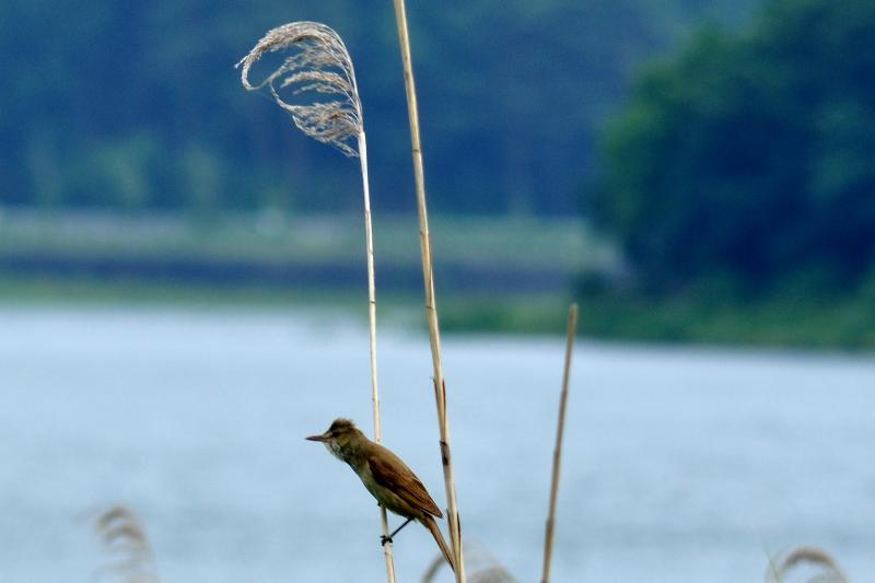 河口湖 野鳥