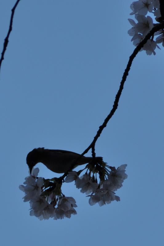 西条市桑村 桜の写真