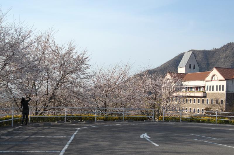 今治市朝倉 タオル美術館 桜
