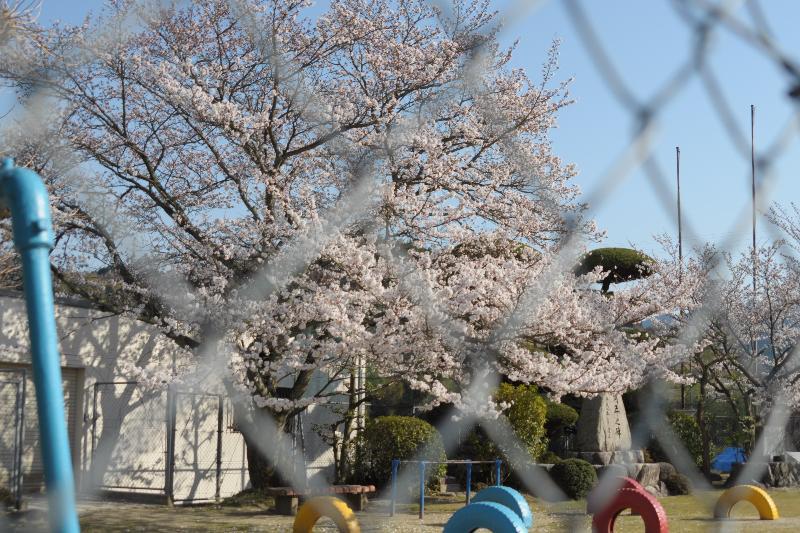 今治市朝倉 上朝小学校の桜