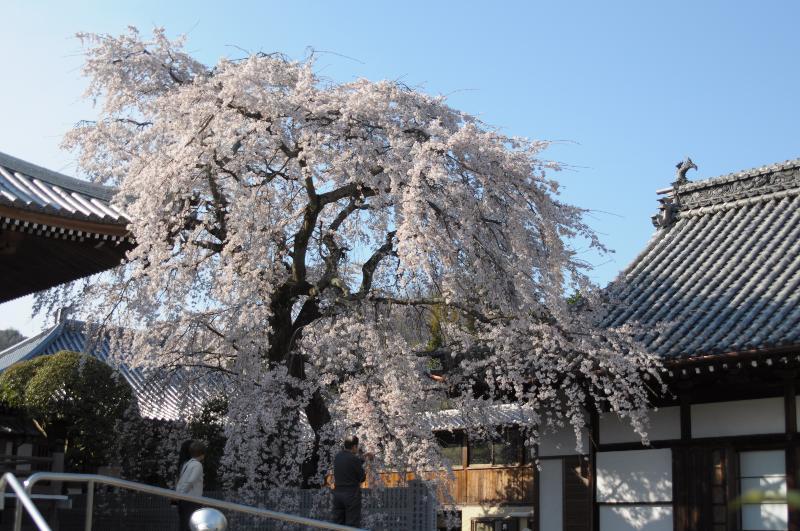 今治市朝倉 無量寺の桜