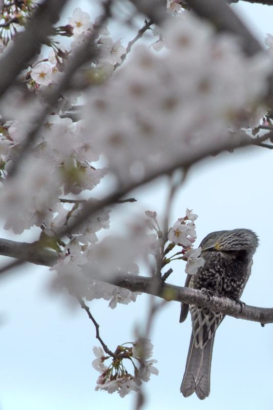 西条市加茂川 土手沿いの桜