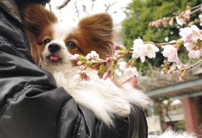 寒桜 05 2011.4.3