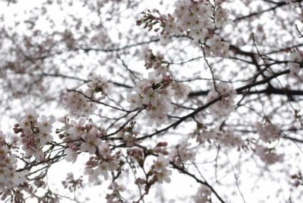 寒桜 03 2011.4.3