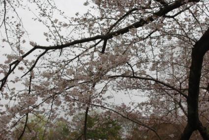 寒桜 01 2011.4.3