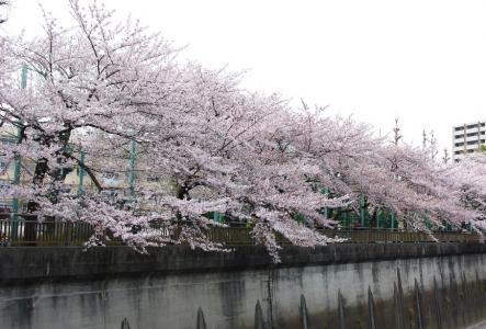 石神井川 01 2011.4.11