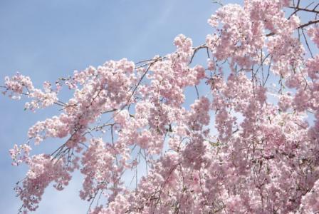 昭和記念公園 01 2011.4.17