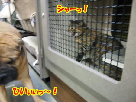 「なに見とんじゃ、このバカ犬が!そのタルタルの首に一発かましたろかっ?」 by 猫