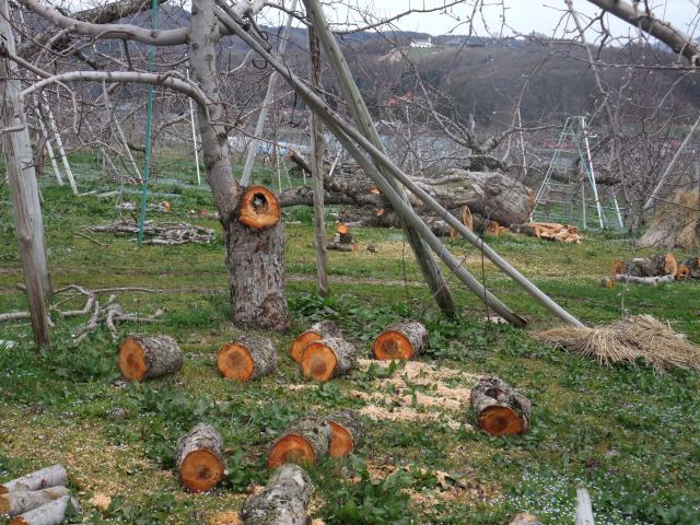 大きな木を伐採