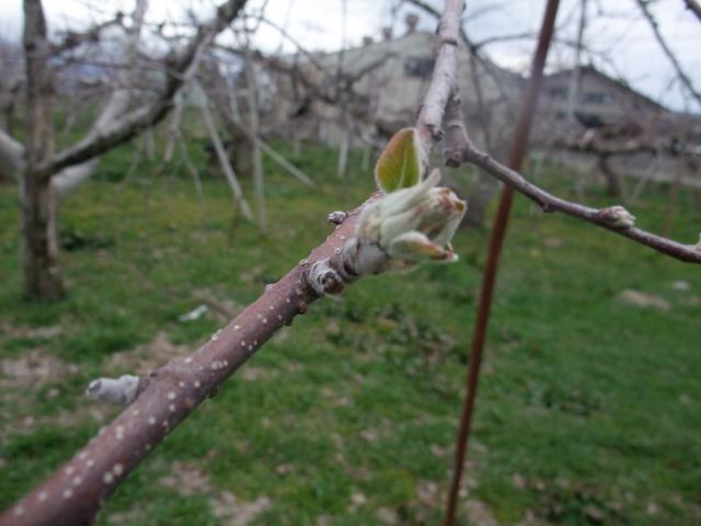 りんごの新芽
