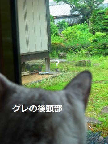 gurechichibi1.jpg