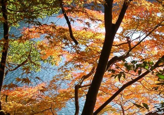 12 布引貯水池の楓3