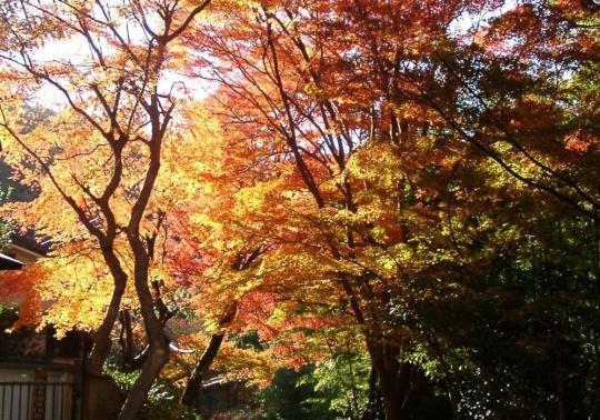 17 市ヶ原の楓