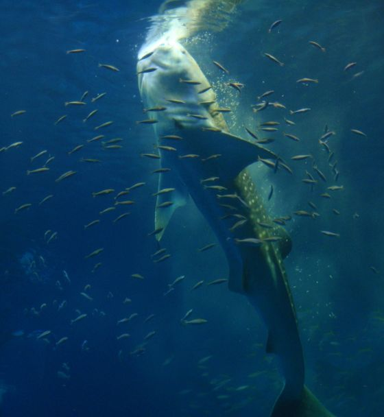 15 じんべいザメの食事