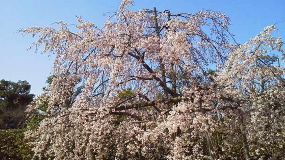 17 大仙公園の桜