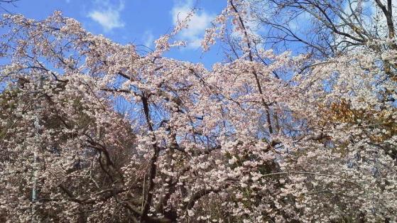 16 大仙公園の桜1
