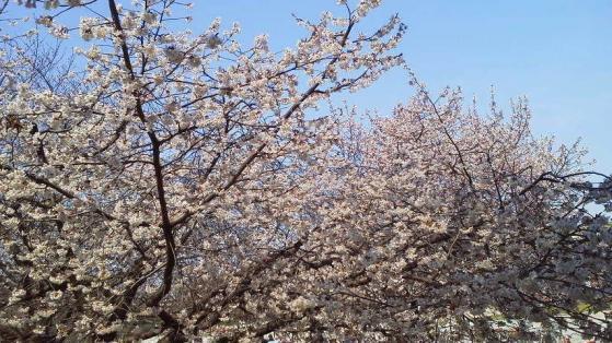 15 浜寺公園の桜