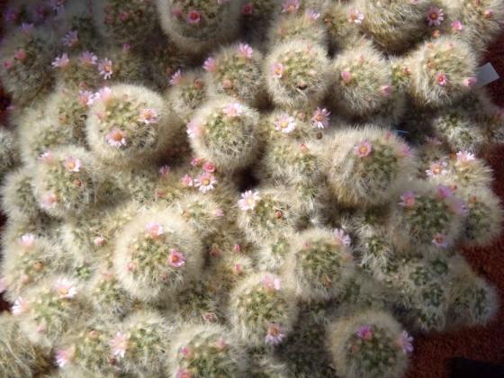 13 サボテンの花