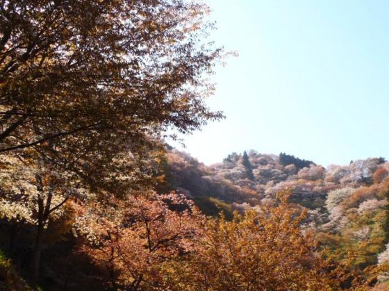 11 桜滝
